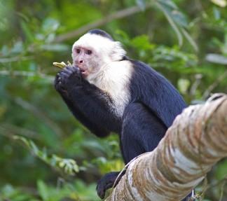 먹이를 먹는 카푸친원숭이의 모습.  - 위키피디아 제공